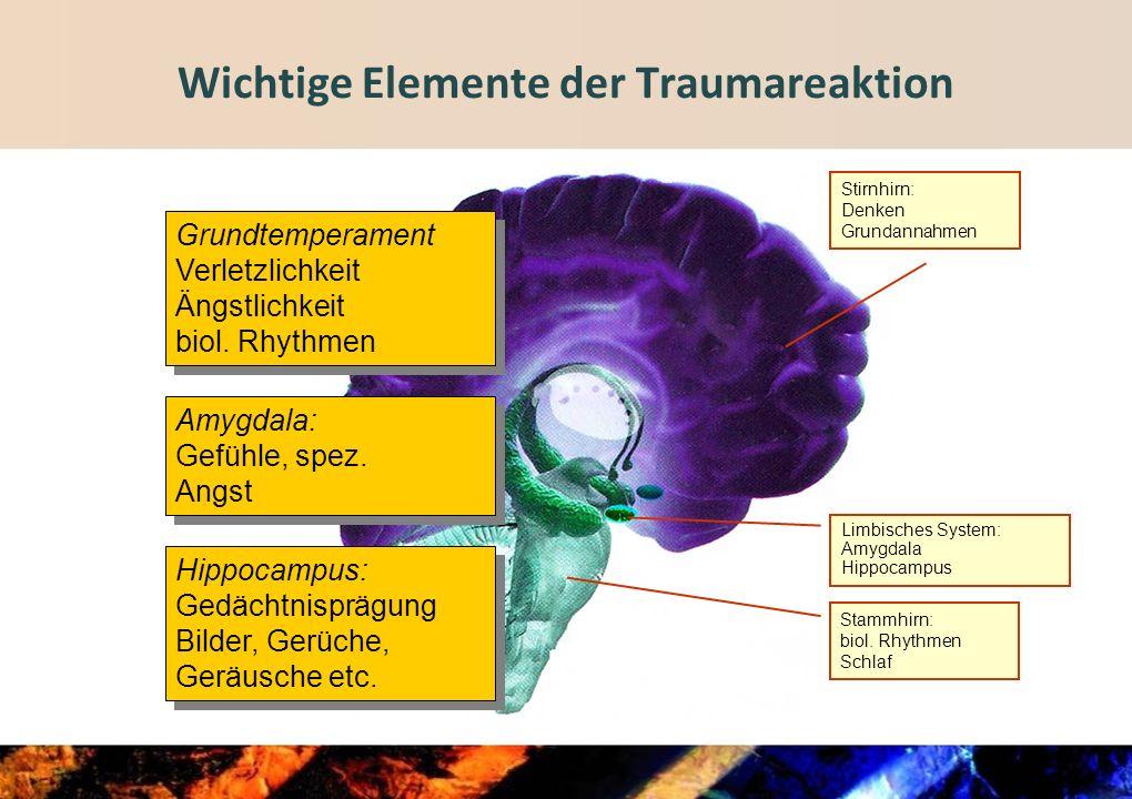 Limbisches System: Amygdala Hippocampus Stirnhirn: Denken Grundannahmen Wichtige Elemente der Traumareaktion Amygdala: Gefühle, spez.
