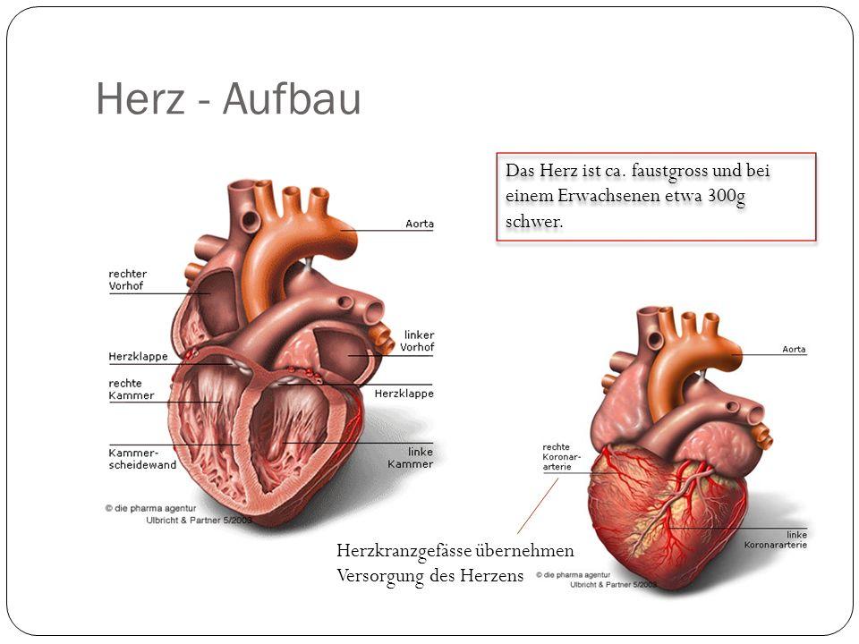 Herz - Aufbau Das Herz ist ca.faustgross und bei einem Erwachsenen etwa 300g schwer.