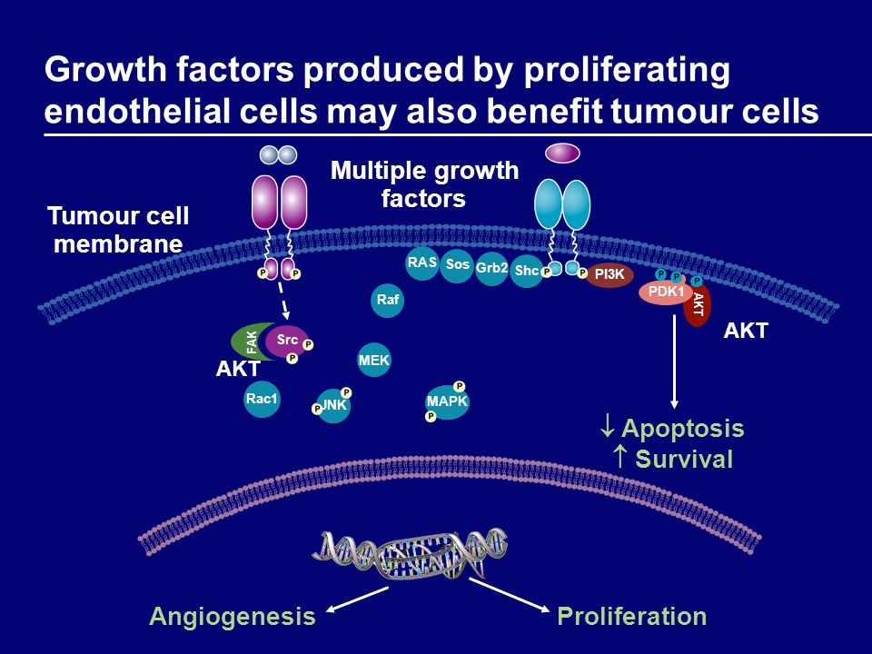 JNK Rac1 Sos Grb2ShcRAS Growth factors produced by proliferating endothelial cells may also benefit tumour cells AKT PDK1 Proliferation Apoptosis Surv