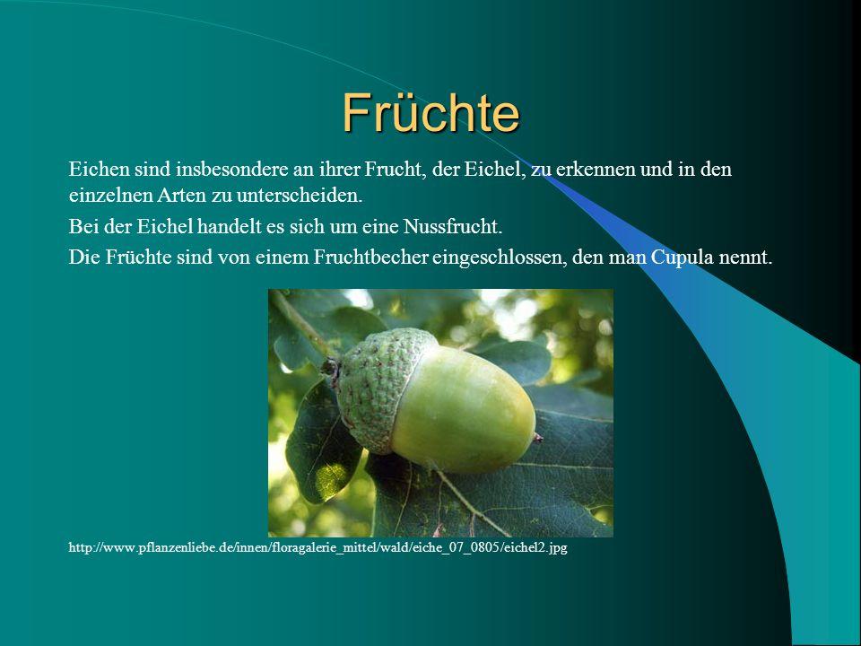 Früchte Eichen sind insbesondere an ihrer Frucht, der Eichel, zu erkennen und in den einzelnen Arten zu unterscheiden. Bei der Eichel handelt es sich