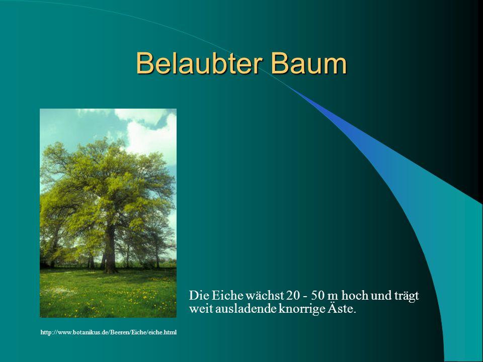 Belaubter Baum Die Eiche wächst 20 - 50 m hoch und trägt weit ausladende knorrige Äste. http://www.botanikus.de/Beeren/Eiche/eiche.html