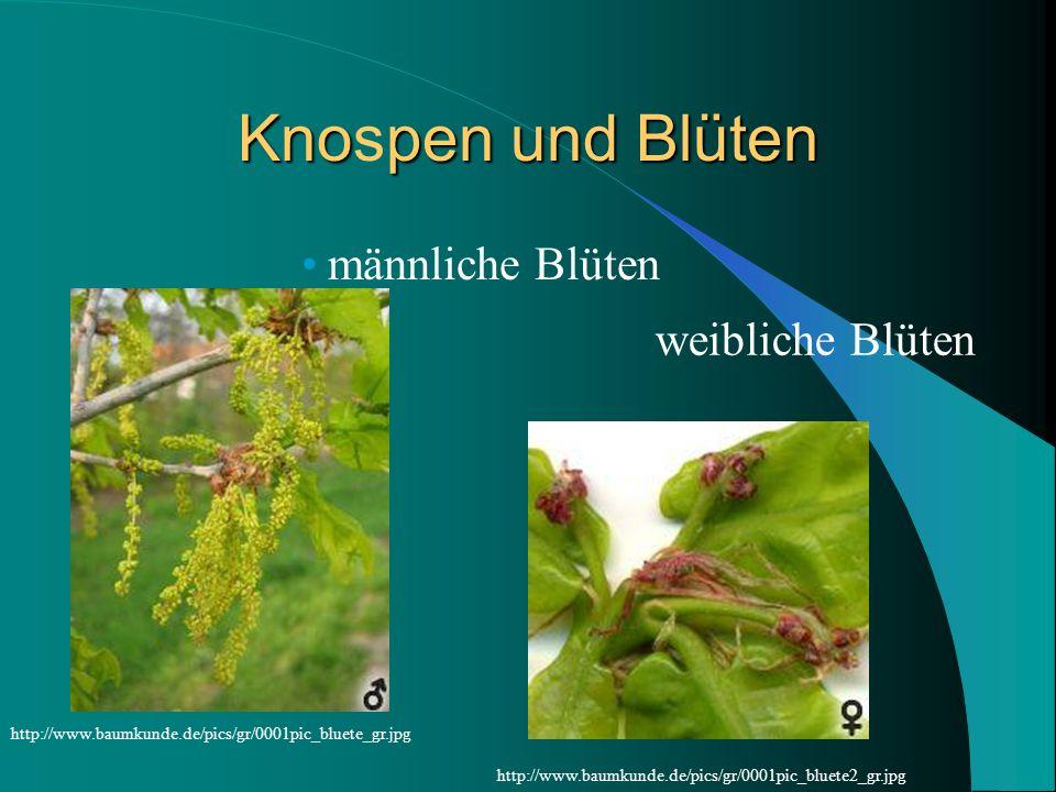 Knopen und Blüten Knospen und Blüten männliche Blüten weibliche Blüten http://www.baumkunde.de/pics/gr/0001pic_bluete_gr.jpg http://www.baumkunde.de/p