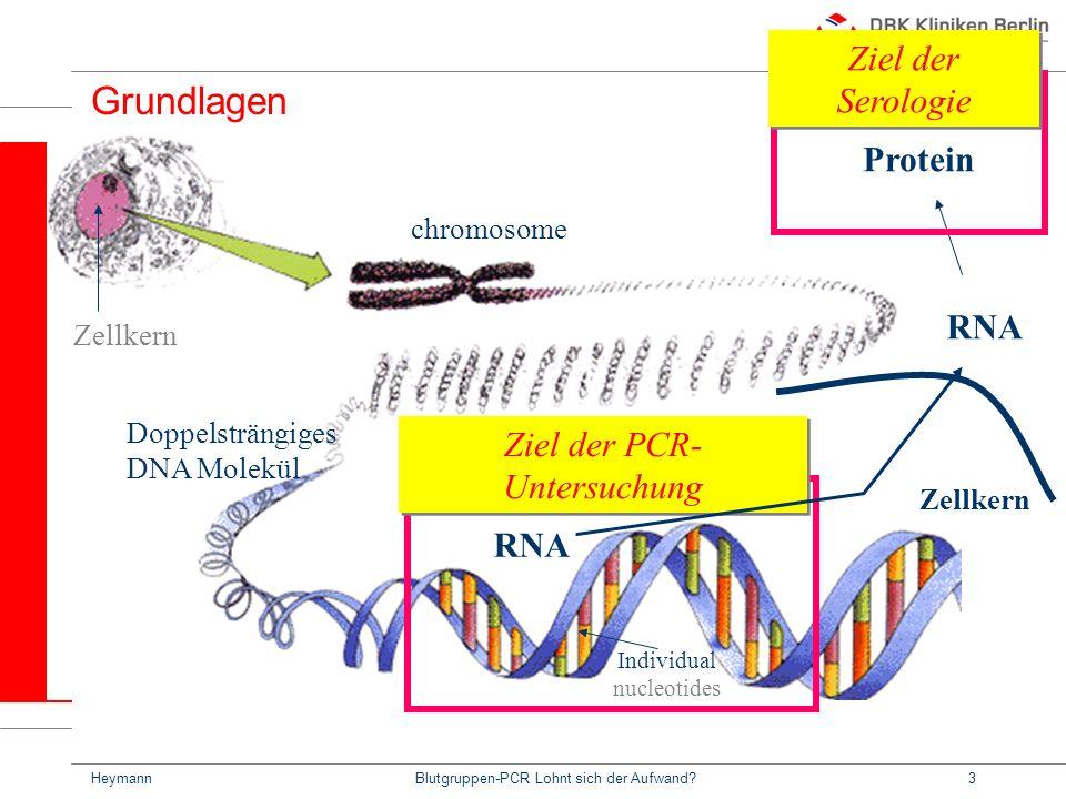 HeymannBlutgruppen-PCR Lohnt sich der Aufwand?3 Grundlagen Ziel der PCR- Untersuchung chromosome Zellkern Doppelsträngiges DNA Molekül Individual nucleotides RNA Zellkern RNA Protein Ziel der Serologie