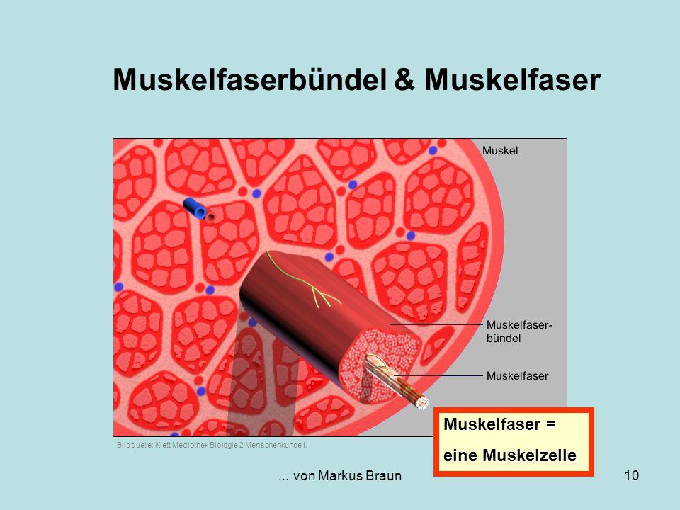 ... von Markus Braun10 Muskelfaserbündel & Muskelfaser Muskelfaser = eine Muskelzelle Bildquelle: Klett Mediothek Biologie 2 Menschenkunde I.