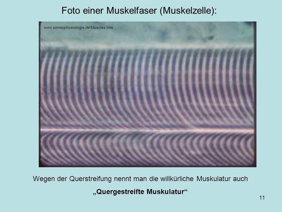 ... von Markus Braun11 Foto einer Muskelfaser (Muskelzelle): www.sinnesphysiologie.de\Muscles.htm Wegen der Querstreifung nennt man die willkürliche M