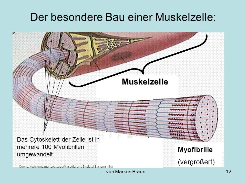 ... von Markus Braun12 Der besondere Bau einer Muskelzelle: Muskelzelle Myofibrille (vergrößert) Quelle: www.emc.maricopa.edu\Muscular and Skeletal Sy