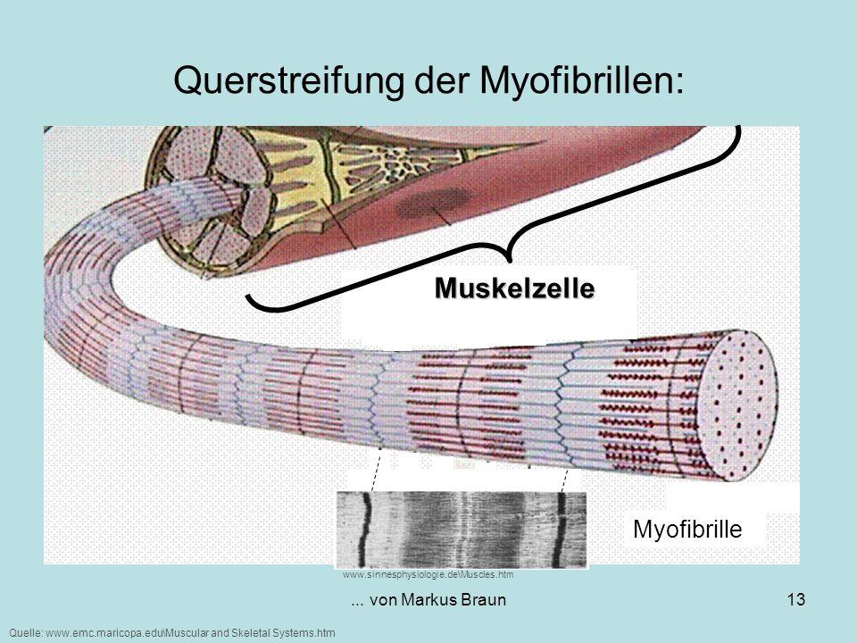 ... von Markus Braun13 Querstreifung der Myofibrillen: Muskelzelle Myofibrille Quelle: www.emc.maricopa.edu\Muscular and Skeletal Systems.htm www.sinn