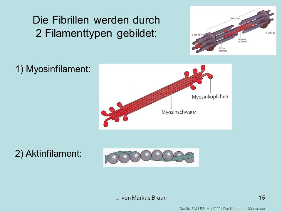 ... von Markus Braun15 Die Fibrillen werden durch 2 Filamenttypen gebildet: 1) Myosinfilament: 2) Aktinfilament: Quelle: FALLER, A. (1999): Der Körper