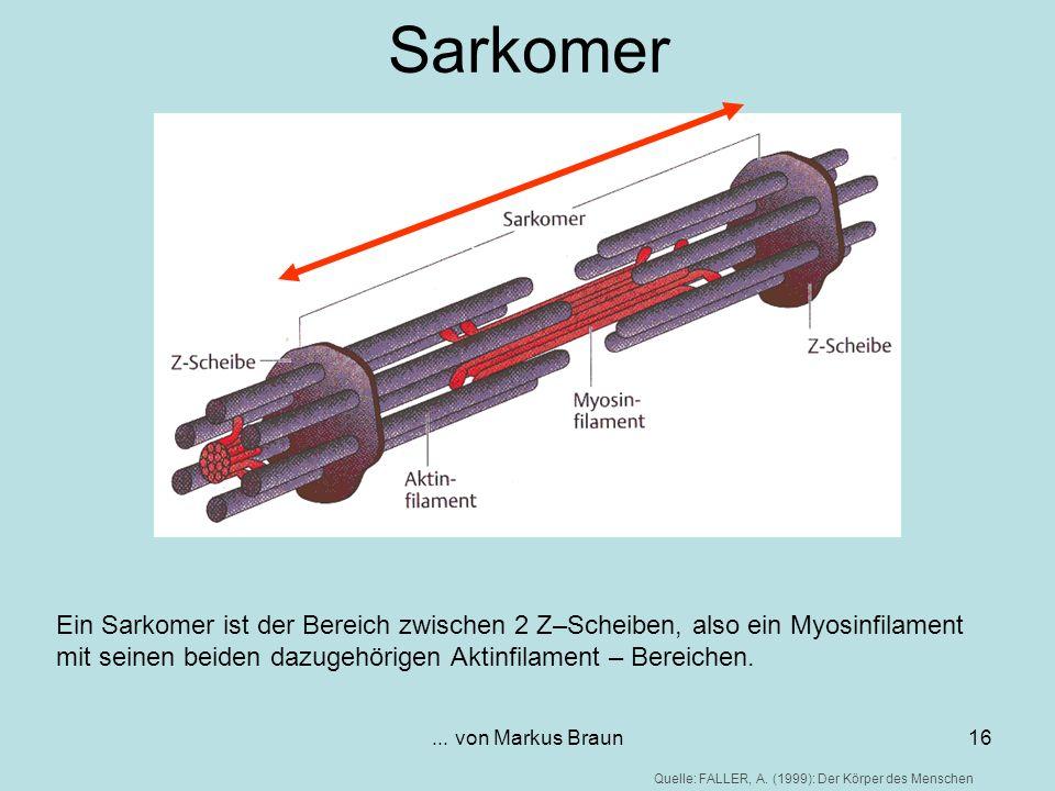 ... von Markus Braun16 Sarkomer Ein Sarkomer ist der Bereich zwischen 2 Z–Scheiben, also ein Myosinfilament mit seinen beiden dazugehörigen Aktinfilam