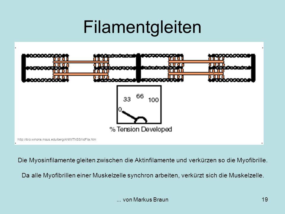 ... von Markus Braun19 Die Myosinfilamente gleiten zwischen die Aktinfilamente und verkürzen so die Myofibrille. Da alle Myofibrillen einer Muskelzell