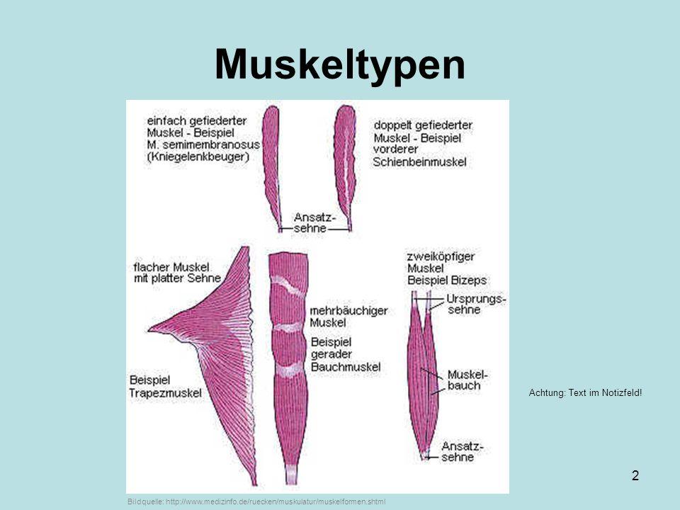 ...von Markus Braun3 Typischer Bau eines Muskels: SEHNEN können ihre Länge nicht ändern !.