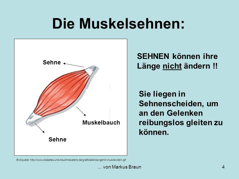 ...von Markus Braun4 Die Muskelsehnen: SEHNEN können ihre Länge nicht ändern !.