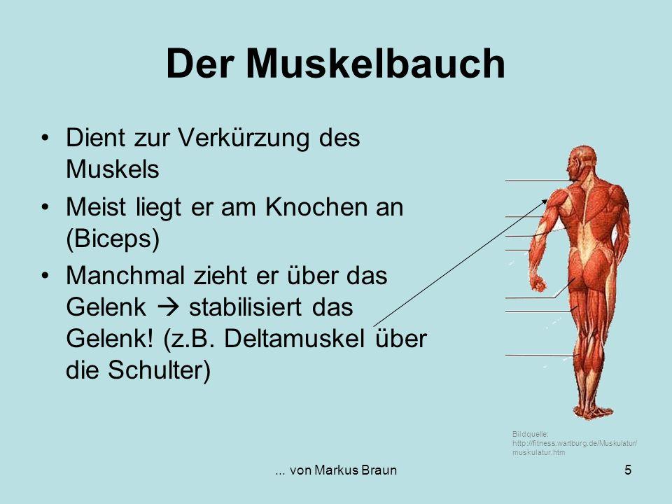 ... von Markus Braun5 Der Muskelbauch Dient zur Verkürzung des Muskels Meist liegt er am Knochen an (Biceps) Manchmal zieht er über das Gelenk stabili