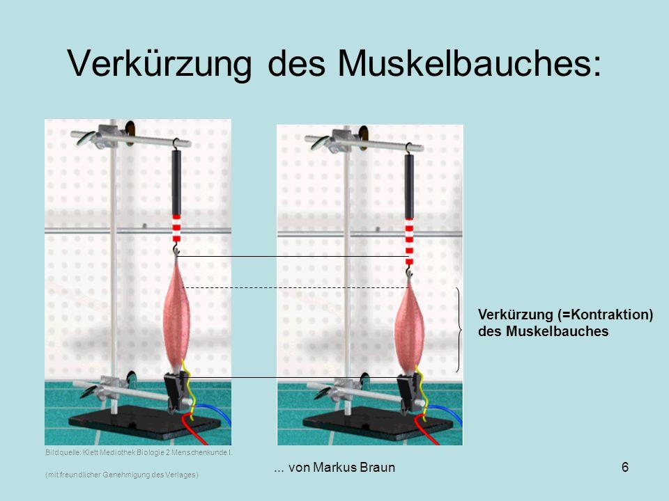 ... von Markus Braun6 Verkürzung des Muskelbauches: Verkürzung (=Kontraktion) des Muskelbauches Bildquelle: Klett Mediothek Biologie 2 Menschenkunde I