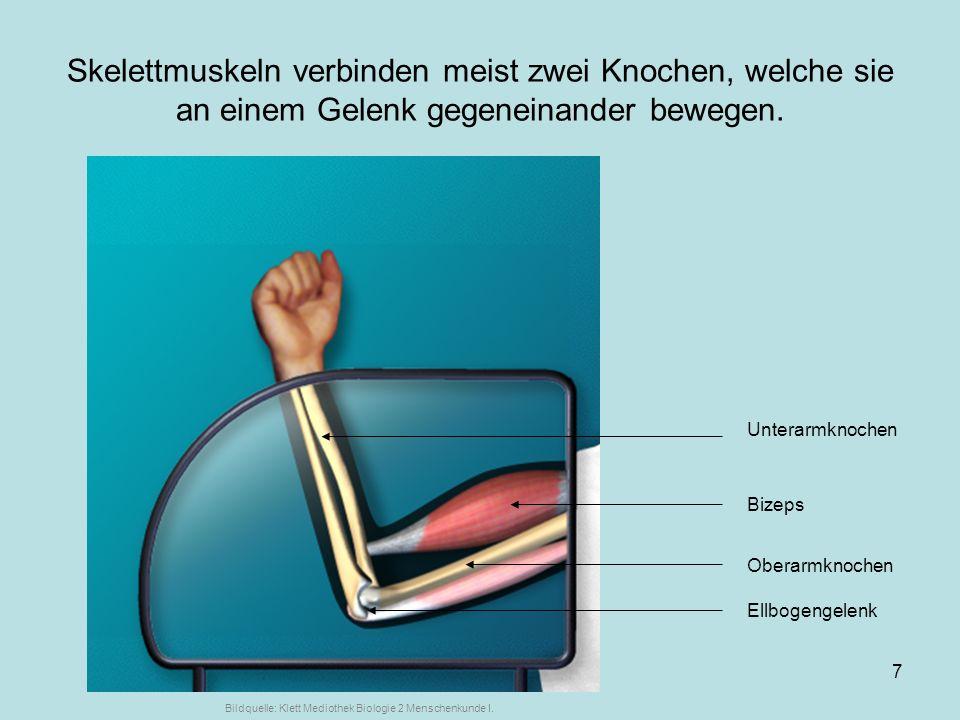 ... von Markus Braun7 Skelettmuskeln verbinden meist zwei Knochen, welche sie an einem Gelenk gegeneinander bewegen. Unterarmknochen Bizeps Ellbogenge