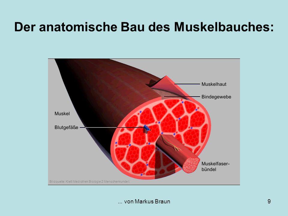 ... von Markus Braun9 Der anatomische Bau des Muskelbauches: Bildquelle: Klett Mediothek Biologie 2 Menschenkunde I.