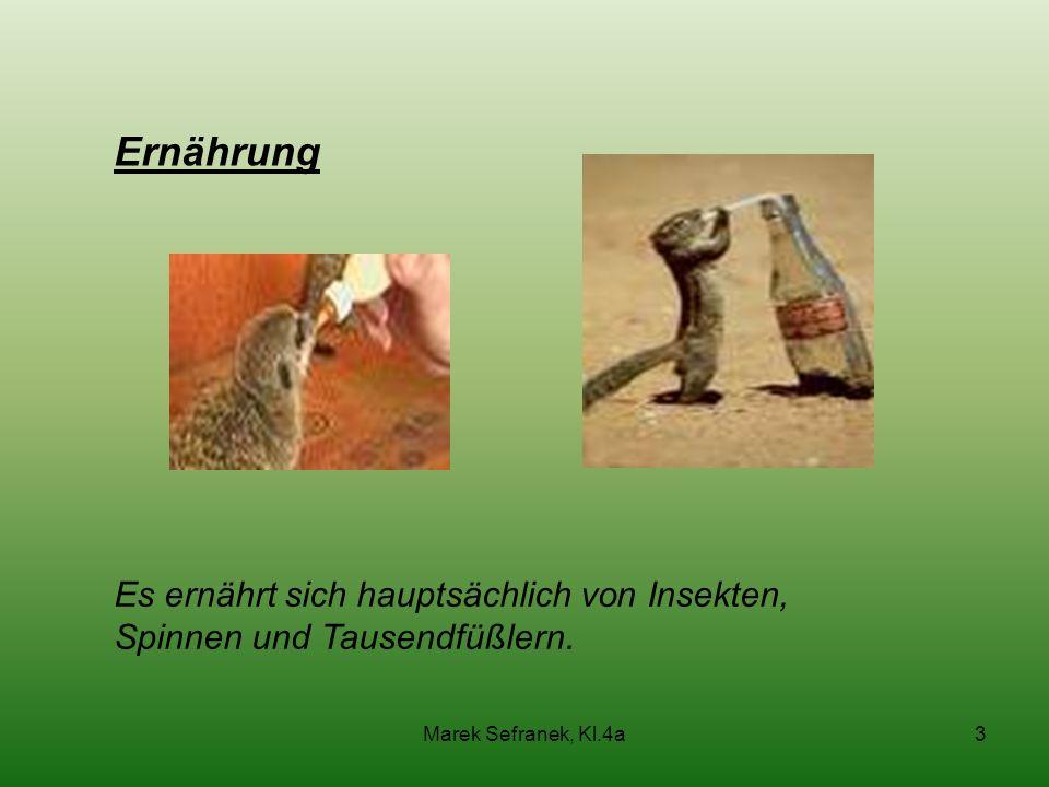 Marek Sefranek, Kl.4a3 Ernährung Es ernährt sich hauptsächlich von Insekten, Spinnen und Tausendfüßlern.