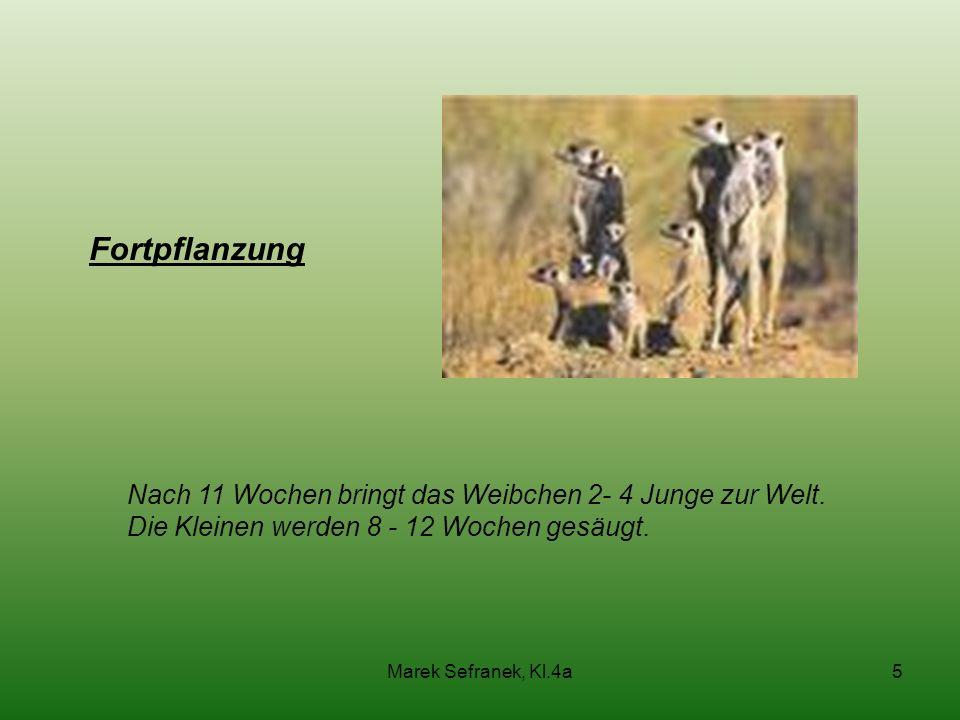 Marek Sefranek, Kl.4a5 Fortpflanzung Nach 11 Wochen bringt das Weibchen 2- 4 Junge zur Welt. Die Kleinen werden 8 - 12 Wochen gesäugt.
