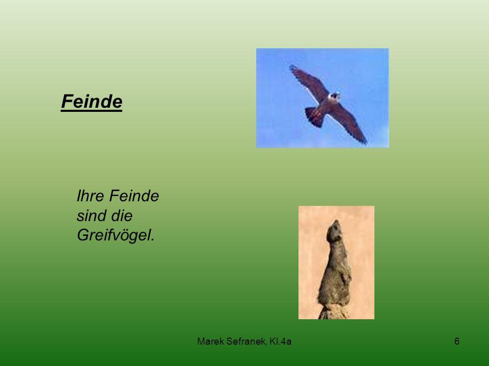 Marek Sefranek, Kl.4a6 Feinde Ihre Feinde sind die Greifvögel.