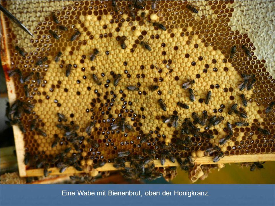 Eine Wabe mit Bienenbrut, oben der Honigkranz.
