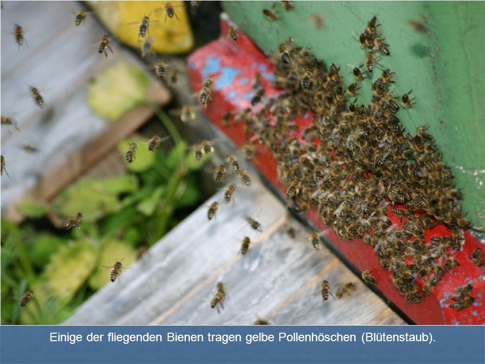 Einige der fliegenden Bienen tragen gelbe Pollenhöschen (Blütenstaub).
