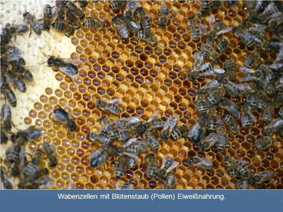 Wabenzellen mit Blütenstaub (Pollen) Eiweißnahrung.