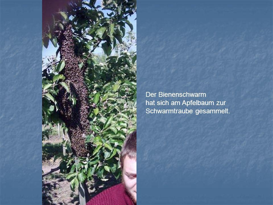 Der Bienenschwarm hat sich am Apfelbaum zur Schwarmtraube gesammelt.