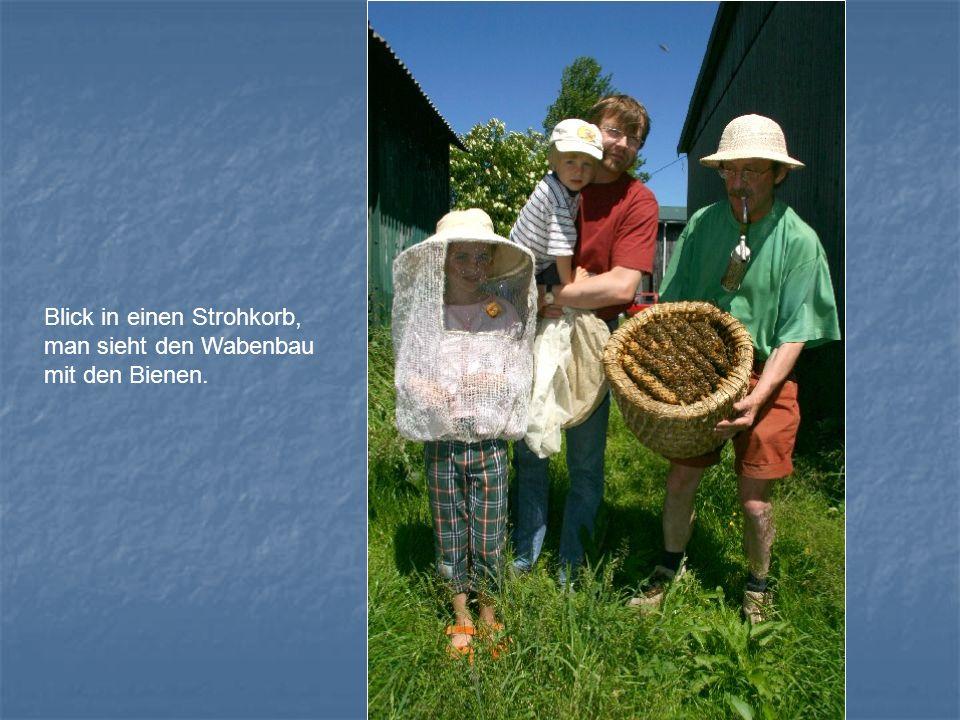 Blick in einen Strohkorb, man sieht den Wabenbau mit den Bienen.