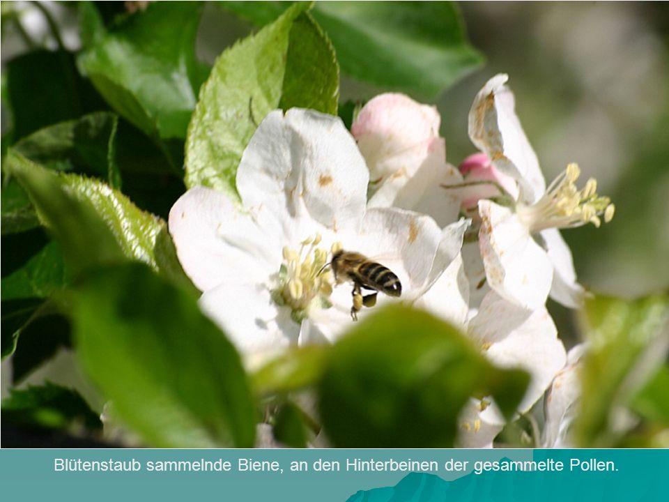 Blütenstaub sammelnde Biene, an den Hinterbeinen der gesammelte Pollen.
