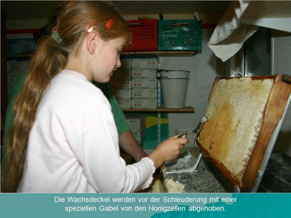 Die Wachsdeckel werden vor der Schleuderung mit einer speziellen Gabel von den Honigzellen abgehoben.