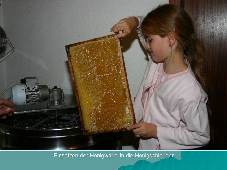 Einsetzen der Honigwabe in die Honigschleuder.