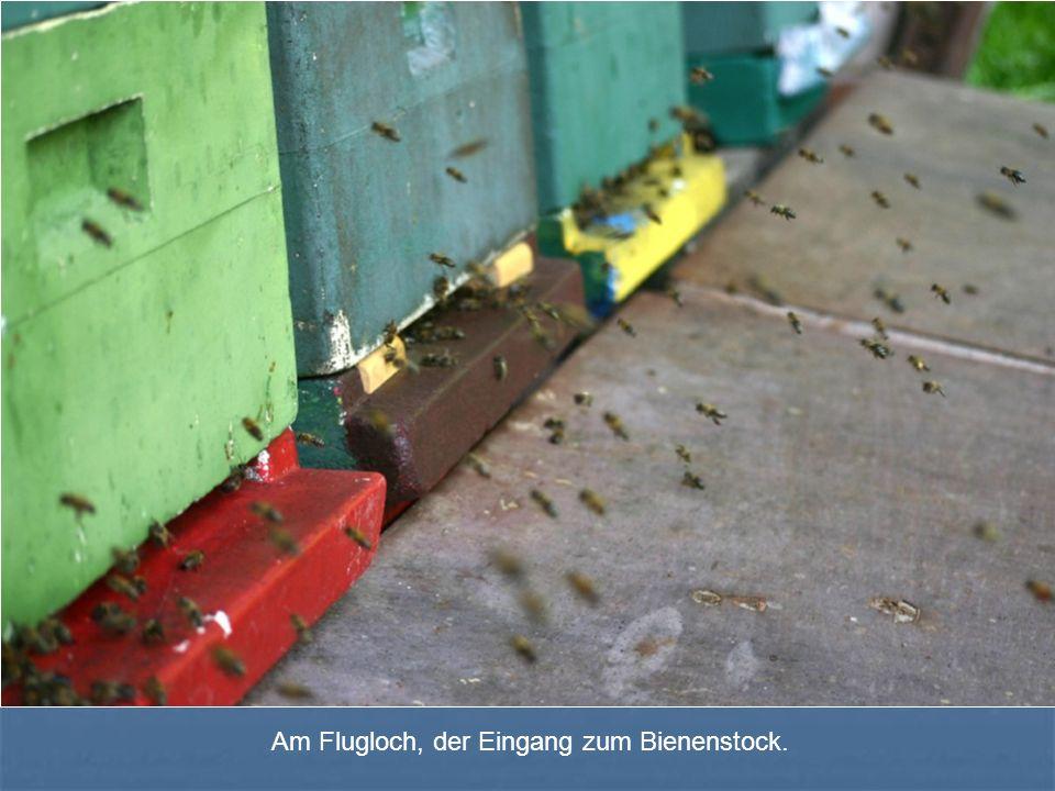 Am Flugloch, der Eingang zum Bienenstock.