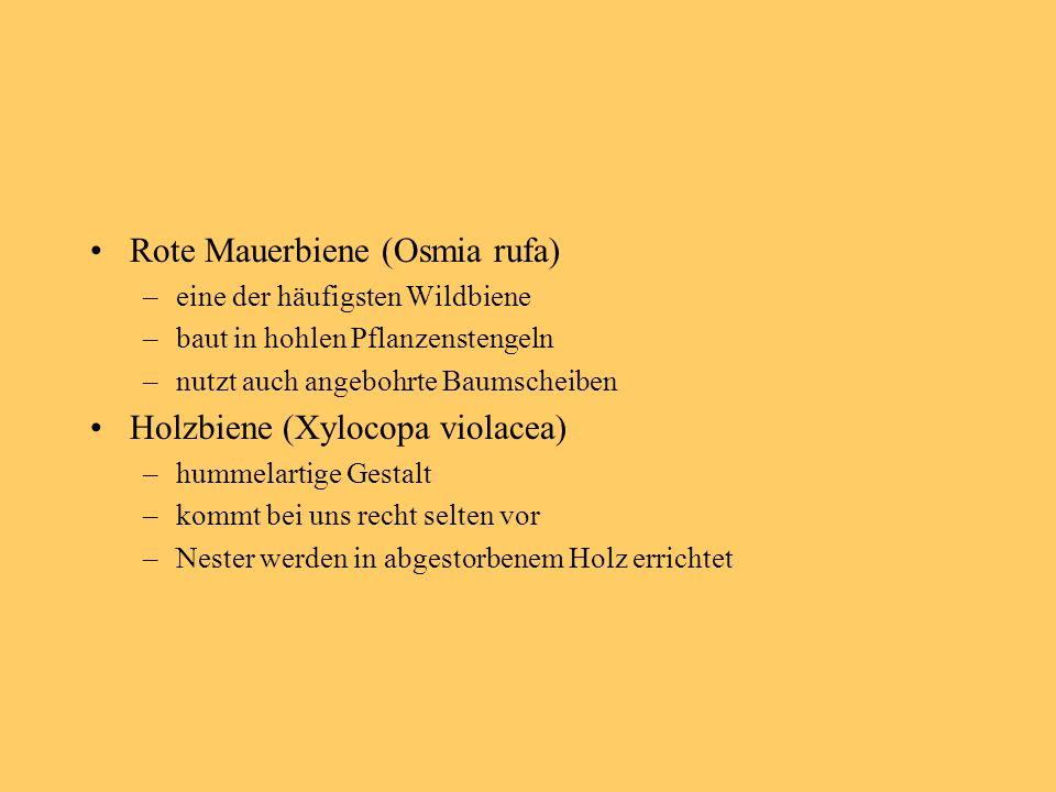 Rote Mauerbiene (Osmia rufa) –eine der häufigsten Wildbiene –baut in hohlen Pflanzenstengeln –nutzt auch angebohrte Baumscheiben Holzbiene (Xylocopa violacea) –hummelartige Gestalt –kommt bei uns recht selten vor –Nester werden in abgestorbenem Holz errichtet