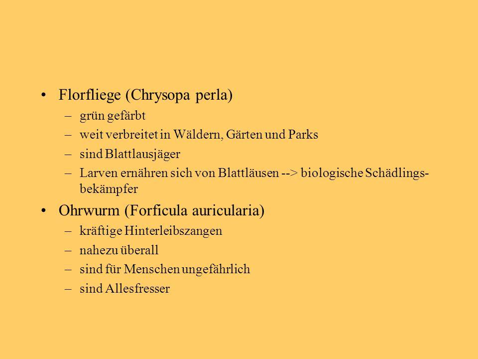 Florfliege (Chrysopa perla) –grün gefärbt –weit verbreitet in Wäldern, Gärten und Parks –sind Blattlausjäger –Larven ernähren sich von Blattläusen --> biologische Schädlings- bekämpfer Ohrwurm (Forficula auricularia) –kräftige Hinterleibszangen –nahezu überall –sind für Menschen ungefährlich –sind Allesfresser