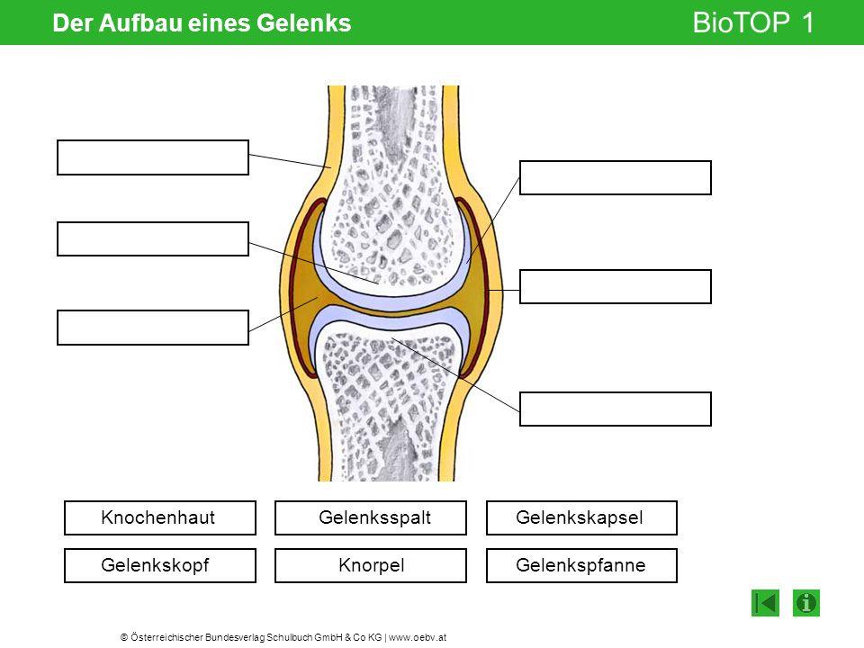 © Österreichischer Bundesverlag Schulbuch GmbH & Co KG | www.oebv.at BioTOP 1 Der Aufbau eines Gelenks Knochenhaut Gelenkskopf Gelenksspalt Knorpel Gelenkskapsel Gelenkspfanne