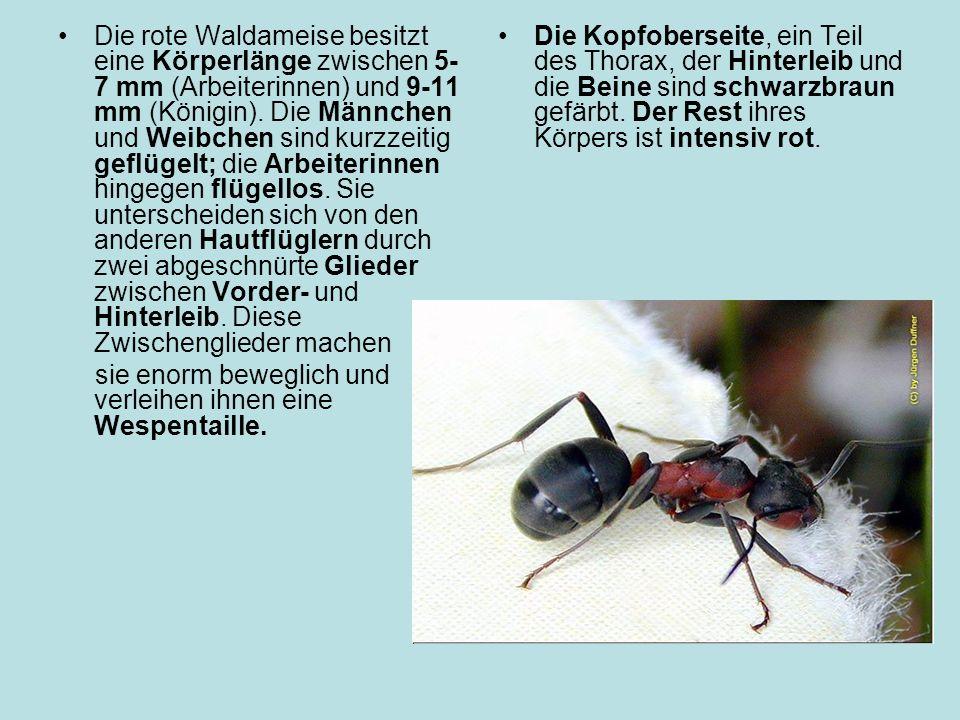 Die rote Waldameise besitzt eine Körperlänge zwischen 5- 7 mm (Arbeiterinnen) und 9-11 mm (Königin).