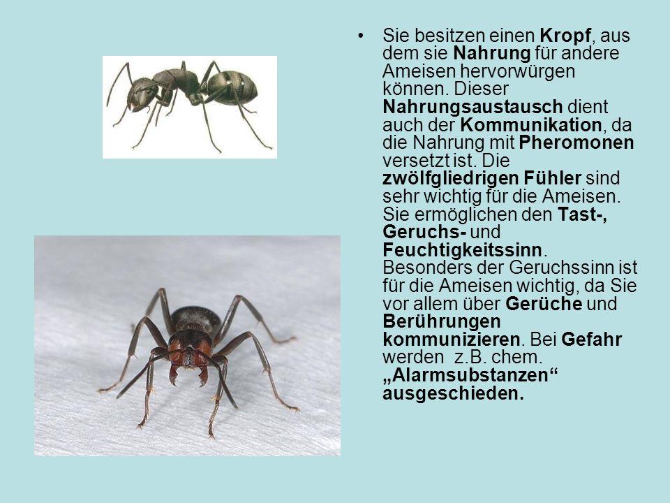 Sie besitzen einen Kropf, aus dem sie Nahrung für andere Ameisen hervorwürgen können.
