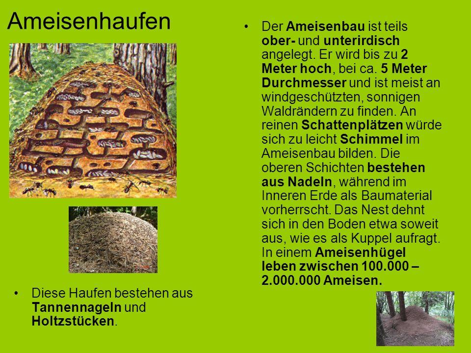 Ameisenhaufen Der Ameisenbau ist teils ober- und unterirdisch angelegt.