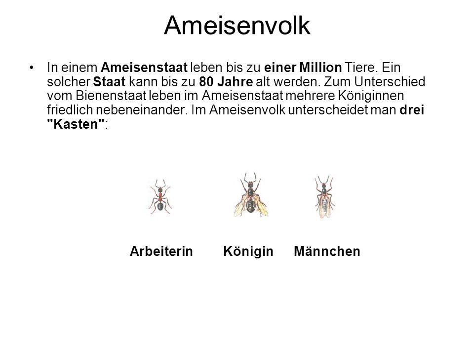 Ameisenvolk In einem Ameisenstaat leben bis zu einer Million Tiere.