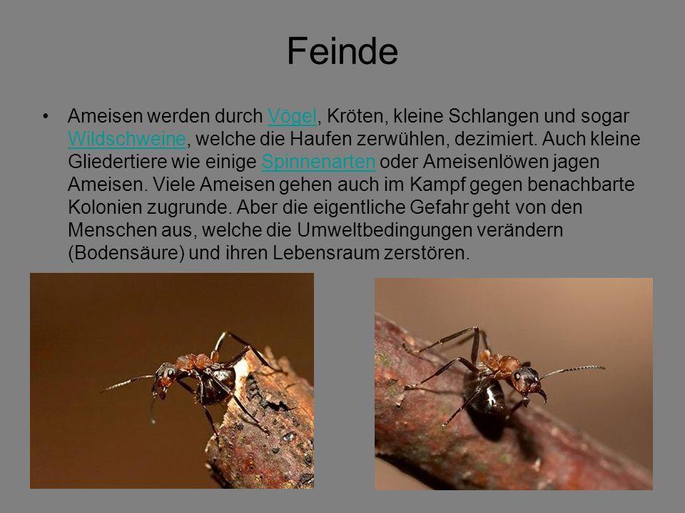 Feinde Ameisen werden durch Vögel, Kröten, kleine Schlangen und sogar Wildschweine, welche die Haufen zerwühlen, dezimiert.