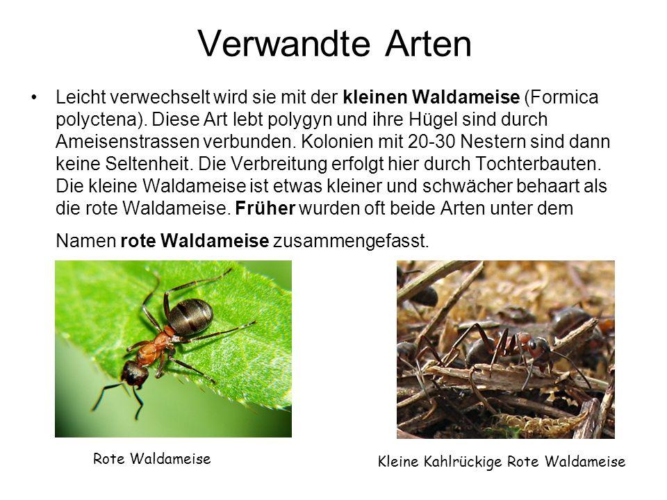 Verwandte Arten Leicht verwechselt wird sie mit der kleinen Waldameise (Formica polyctena).