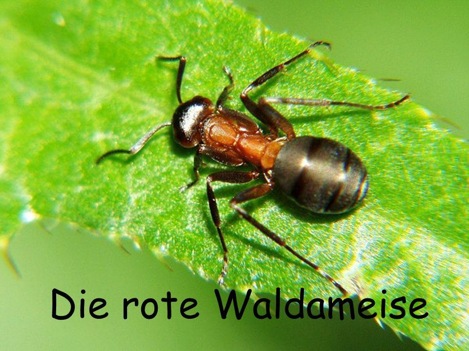 Weibchen Ameisenstaat sind die meisten Bewohner unfruchtbare Weibchen.