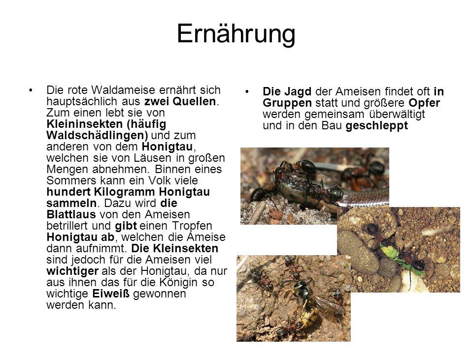 Ernährung Die rote Waldameise ernährt sich hauptsächlich aus zwei Quellen.