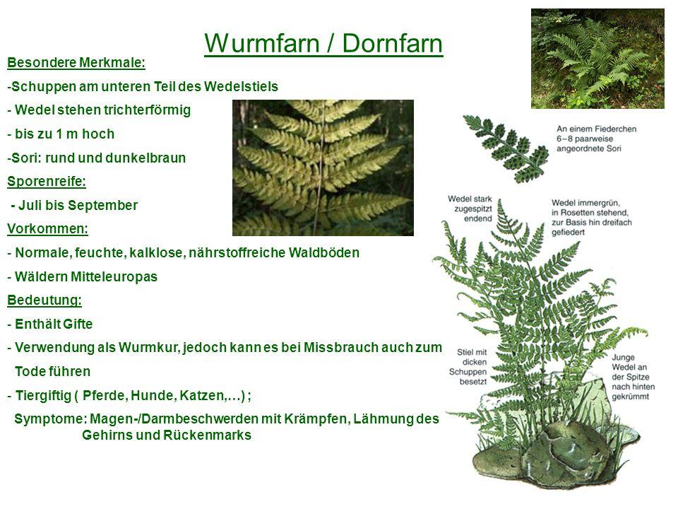 Wurmfarn / Dornfarn Besondere Merkmale: -Schuppen am unteren Teil des Wedelstiels - Wedel stehen trichterförmig - bis zu 1 m hoch -Sori: rund und dunk