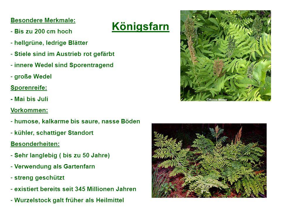 Königsfarn Besondere Merkmale: - Bis zu 200 cm hoch - hellgrüne, ledrige Blätter - Stiele sind im Austrieb rot gefärbt - innere Wedel sind Sporentrage