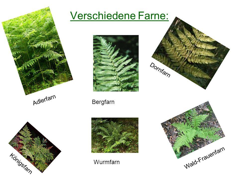 Verschiedene Farne: Adlerfarn Bergfarn Dornfarn Königsfarn Wurmfarn Wald-Frauenfarn