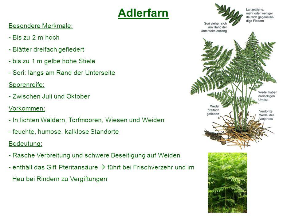 Adlerfarn Besondere Merkmale: - Bis zu 2 m hoch - Blätter dreifach gefiedert - bis zu 1 m gelbe hohe Stiele - Sori: längs am Rand der Unterseite Spore