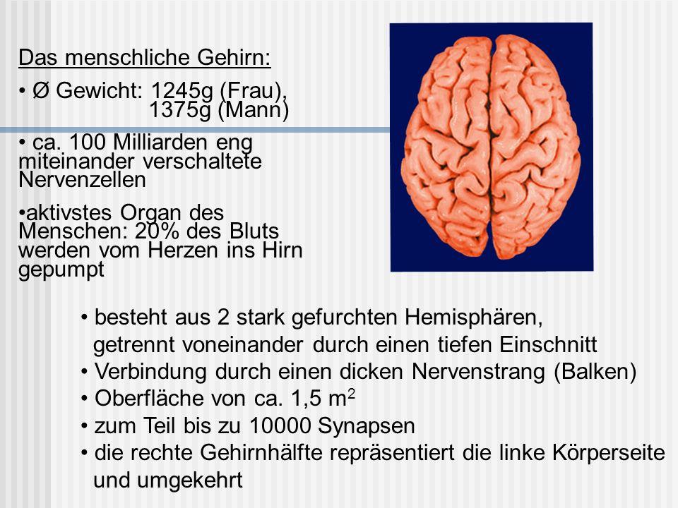 Das menschliche Gehirn: Ø Gewicht: 1245g (Frau), 1375g (Mann) ca. 100 Milliarden eng miteinander verschaltete Nervenzellen aktivstes Organ des Mensche