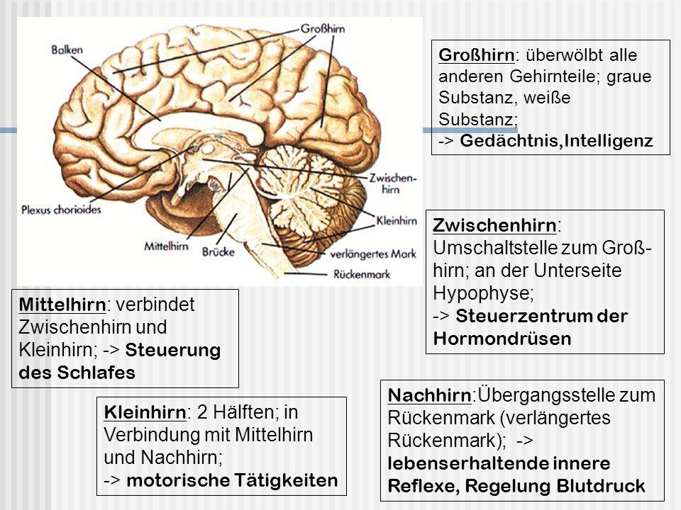 Großhirn : überwölbt alle anderen Gehirnteile; graue Substanz, weiße Substanz; -> Gedächtnis,Intelligenz Zwischenhirn : Umschaltstelle zum Groß- hirn;