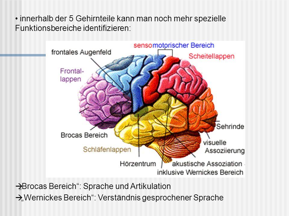 innerhalb der 5 Gehirnteile kann man noch mehr spezielle Funktionsbereiche identifizieren: Brocas Bereich: Sprache und Artikulation Wernickes Bereich: